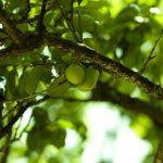 梅肉エキスのアトピーに対する大きな効果